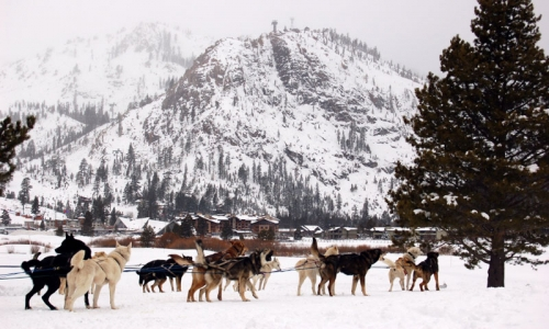 Lake Tahoe Ski Vacations Dog Sledding
